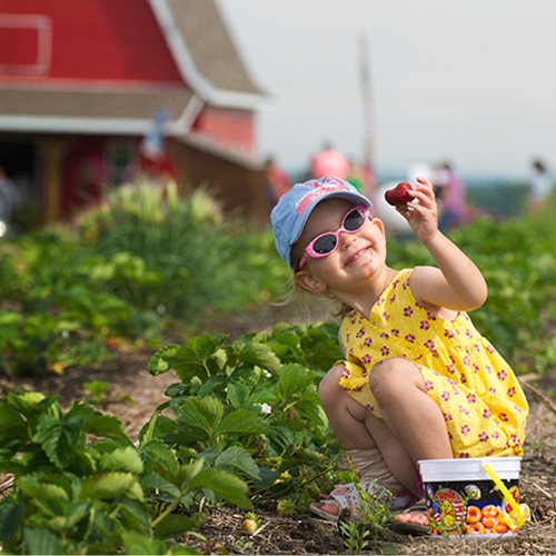 Spring time means pick your own strawberries at The Jungle Farm and General Store in Red Deer, Alberta